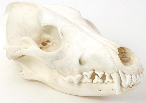 Possum Skull Identification | www.pixshark.com - Images ...