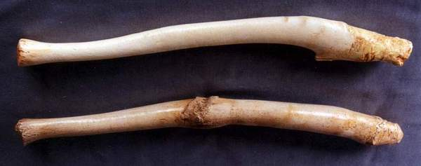 Walrus Baculum / Oosik (24in) (Odobenus rosmarus) | WCFM-05