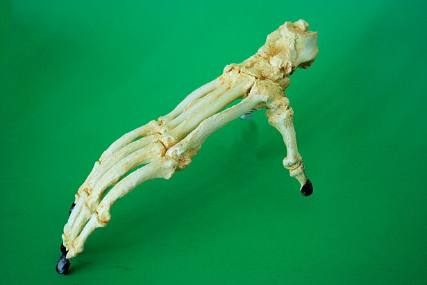 Orangutan Articulated Adult Foot