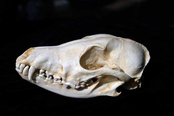 Coyote skull vs wolf skull - photo#18