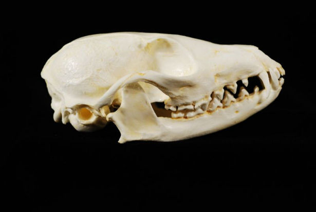 http://www.educationalbiofacts.com/images/DJL039%20FOX%20Cape%20SKULL%2000WW.jpg