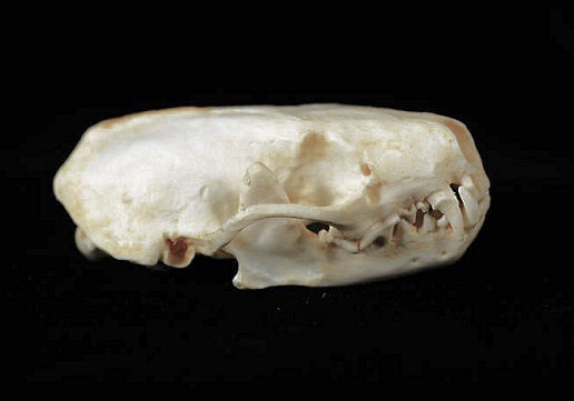 Western Spotted Skunk Male Skull