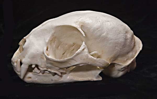 http://www.educationalbiofacts.com/images/Margay-skull-female.jpg