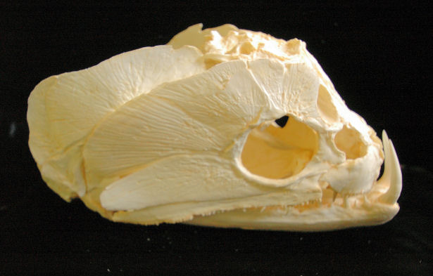 Payara wolf  Fish skull