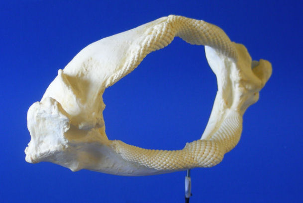 Atlantic Guitar Fish Jaw