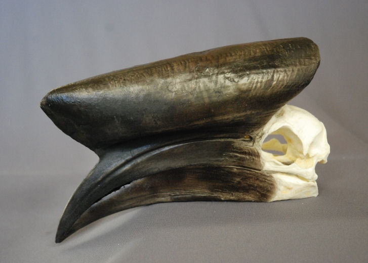 Black-casqued Hornbill Male Skull
