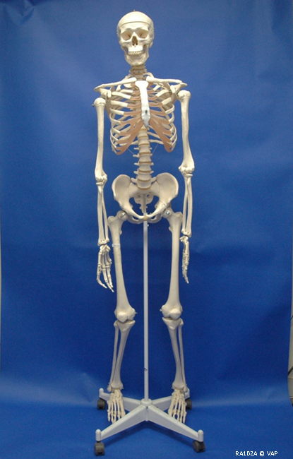 Human, Adult Skeleton