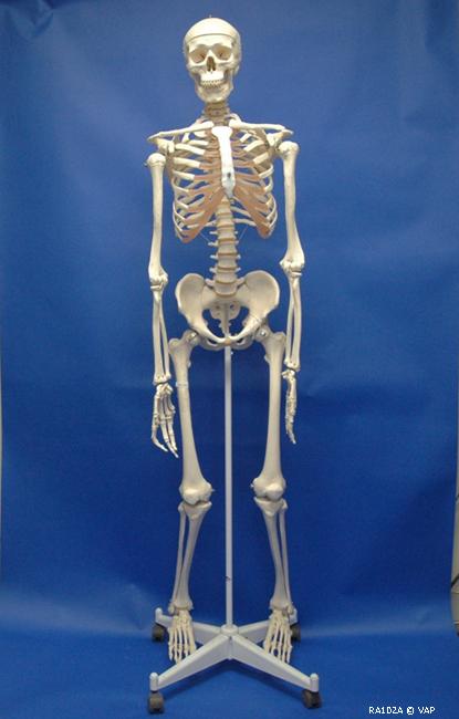 Adult Human Skeleton 94