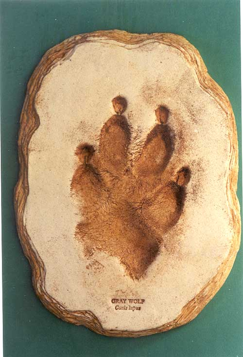 Gray Wolf footprint