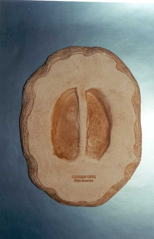 Arabian Oryx footprint