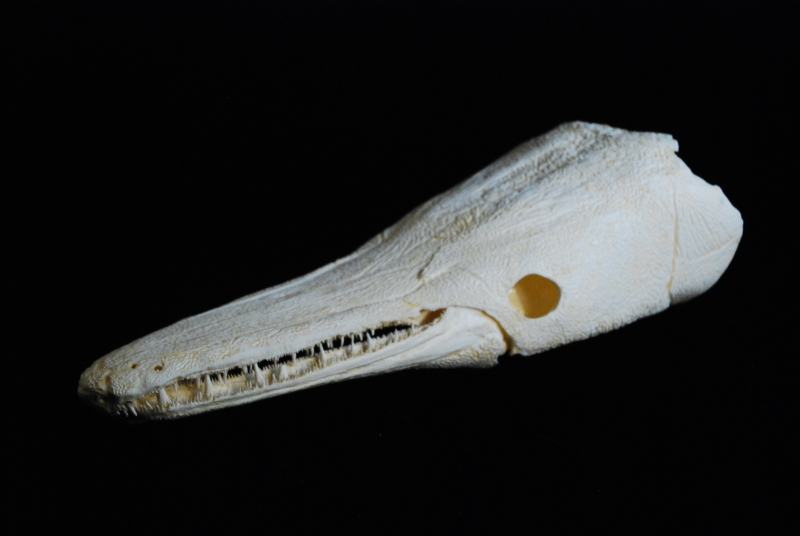 Alligator Gar Fish Skull